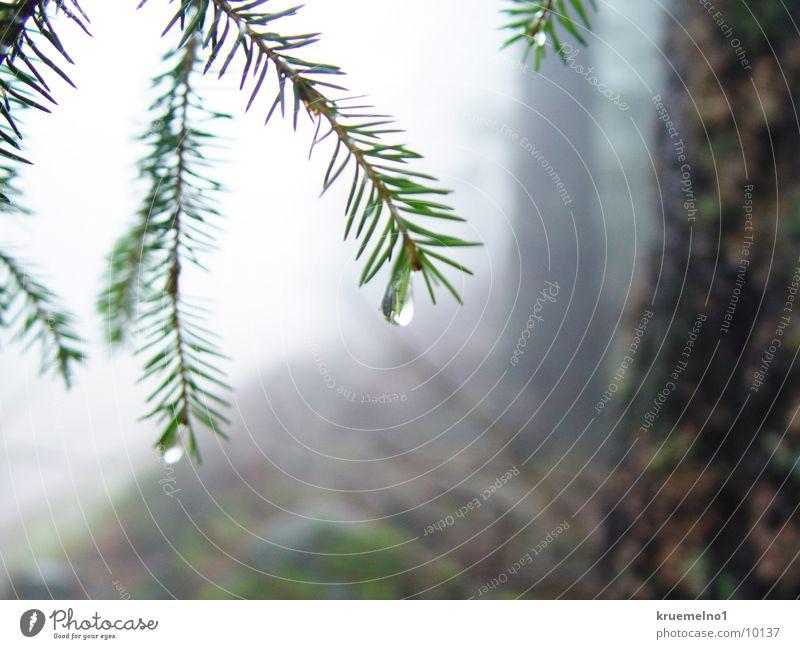 Wassertropfen Wald Wassertropfen Zweig Nadelbaum Tannennadel