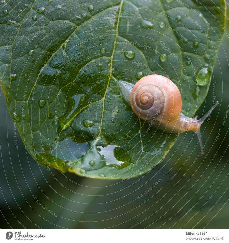 Regenwetter Garten Natur Tier Wasser Wassertropfen Blatt Schnecke krabbeln nass Geschwindigkeit grün Schneckenhaus langsam Weichtier Farbfoto Außenaufnahme