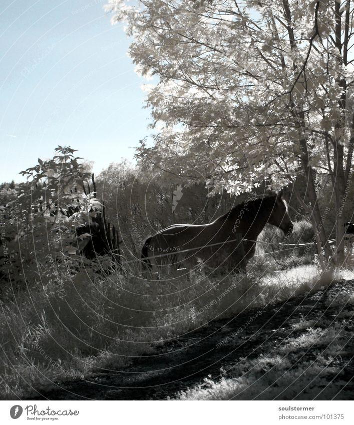 Pferd noch näher... Infrarotaufnahme Wiese Baum außergewöhnlich Jubiläum Zaun Wolken Farbinfrarot weiß Holzmehl Gras Wand Dach schwarz grau Neue Welt