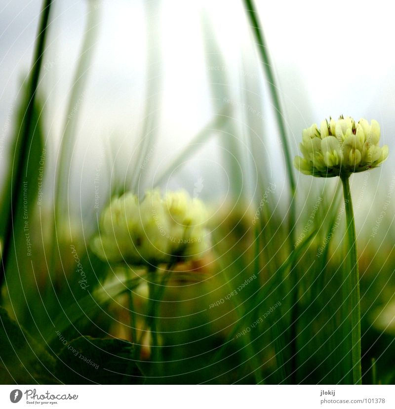 (IIoII)o Froschperspektive Wolken ziehen gefährlich dunkel Jäger Klee Wiese unten Holz Wachstum Blüte Blume Pflanze Regen Gras grün Unschärfe Tiefdruckgebiet
