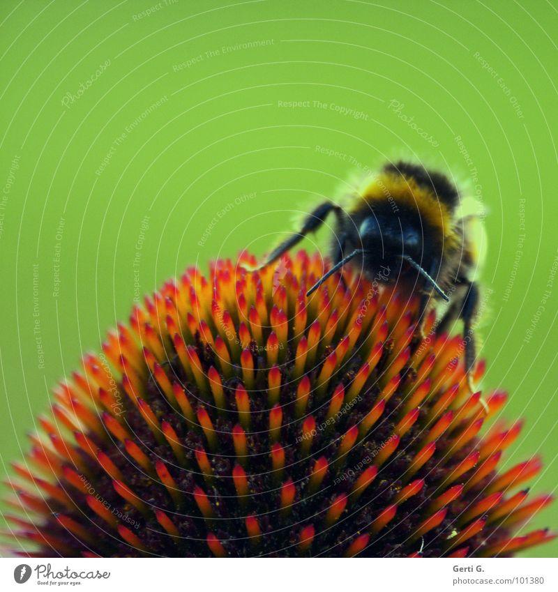 prickly ² Natur grün rot Pflanze Blume Blüte Beine orange fliegen gefährlich Kreis Spitze Tee Biene Insekt