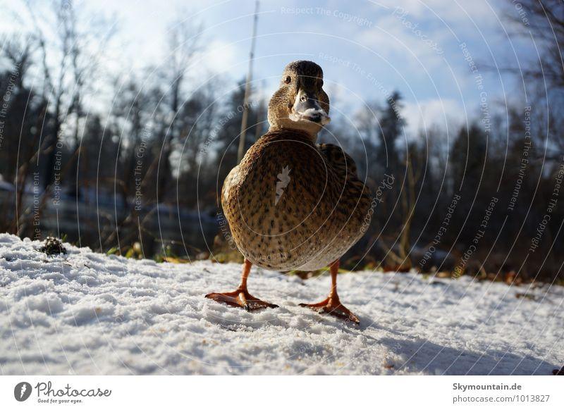 Ente aus der Froschperspektive Natur Ferien & Urlaub & Reisen Tier Winter Wald Umwelt Schnee Garten See Vogel Park Freizeit & Hobby Feld Wildtier wandern