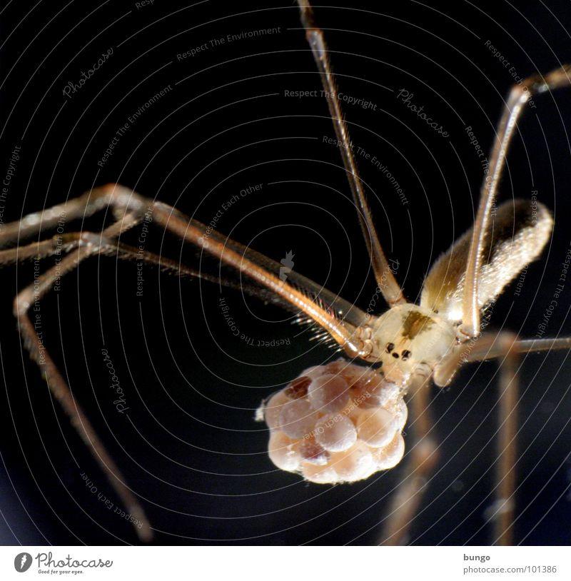 Auf dem Weg zum Tischtennismatch Spinne Ekel klein Makroaufnahme Kieferklaue Mandibel Fresswerkzeug Gliederfüßer Angst Panik arthropoden spider fear disgust