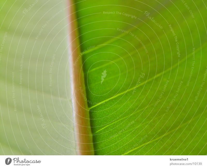 Blattunterseite Gummibaum Pflanze grün