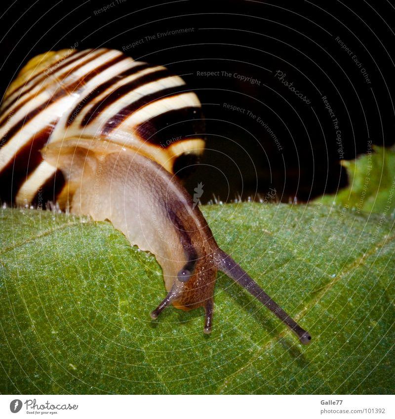 Blattkriecher II Haus glänzend Fühler Tier schleimig Spirale Garnspulen Torso Schneckenhaus weich Schleim Tentakel gestreift Streifen Makroaufnahme Nahaufnahme