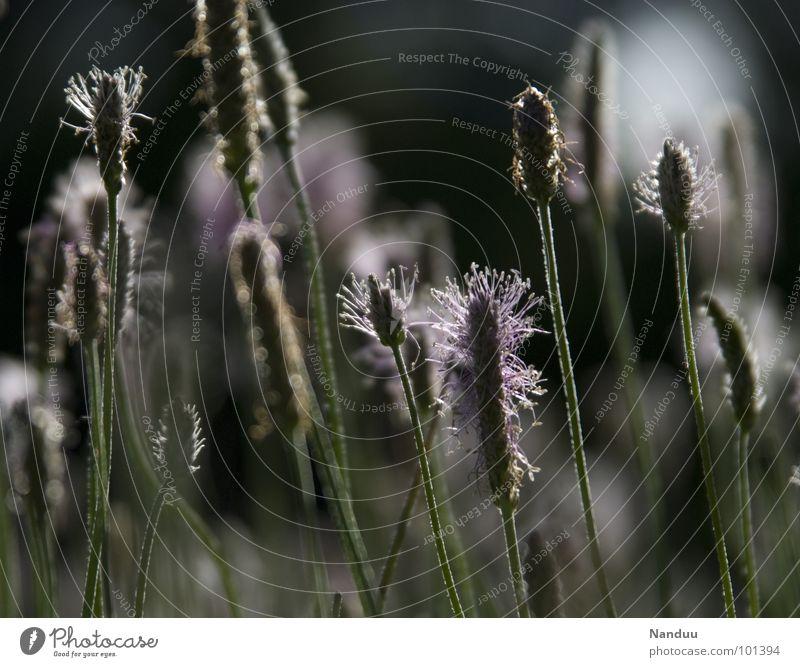 Träumerei Spitzwegerich Wegerichgewächse Heilpflanzen Heilpraktiker Gesundheit Aucubin dunkel schwarz weiß Wiese Blumenwiese Sommer heiß träumen Erholung