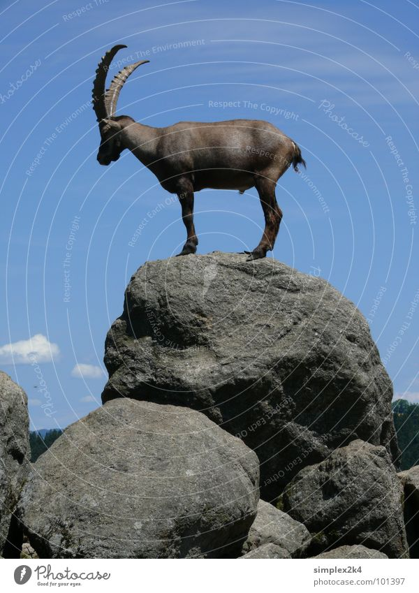 Steinbock Himmel weiß blau Wolken Tier Freiheit grau Stein Felsen hoch Wildtier Säugetier Horn Steinbock