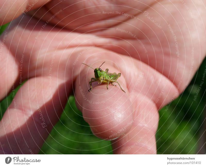 Gucke einer schau! Natur Hand grün Finger Insekt Heuschrecke Heimchen