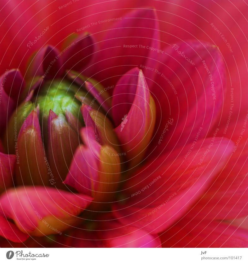 [sanft] Blume rosa leicht aufmachen Leben Blütenblatt Wachstum Makroaufnahme Frühling Garten Park flower Blühend open living Blütenknospen buete Innenaufnahme