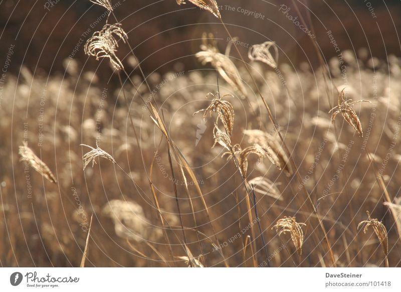 Gräser unter afrikanischer Sonne Gras braun Seil Afrika Getreide Schilfrohr beige