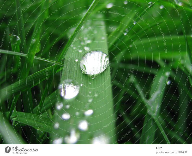 Perlenbesetzt Gras nass grün Wiese Wassertropfen Regen Reflexion & Spiegelung Erholung ruhig Makroaufnahme Nahaufnahme perlenbesetzt Natur Planze