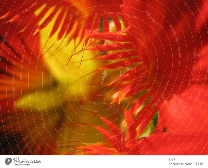 Feuerblume Blume Pflanze rot gelb Farbe Blüte Garten Beleuchtung Brand heiß Blühend Flamme Kapuzineraffen