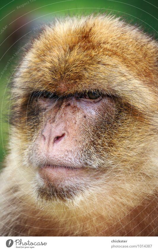 Are you talking to me? Tier Wildtier Tiergesicht Zoo 1 sitzen authentisch Coolness kuschlig natürlich Originalität schön braun gelb grün Kraft Mut achtsam