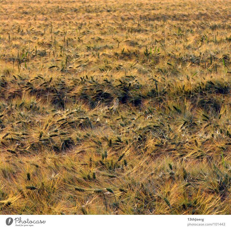 Erntehorizont gelb Ähren Landwirtschaft Feld Sachsen Sommer durcheinander Horizont Lebensmittel Getreide Gras Wind Pflanze Amerika Ernährung