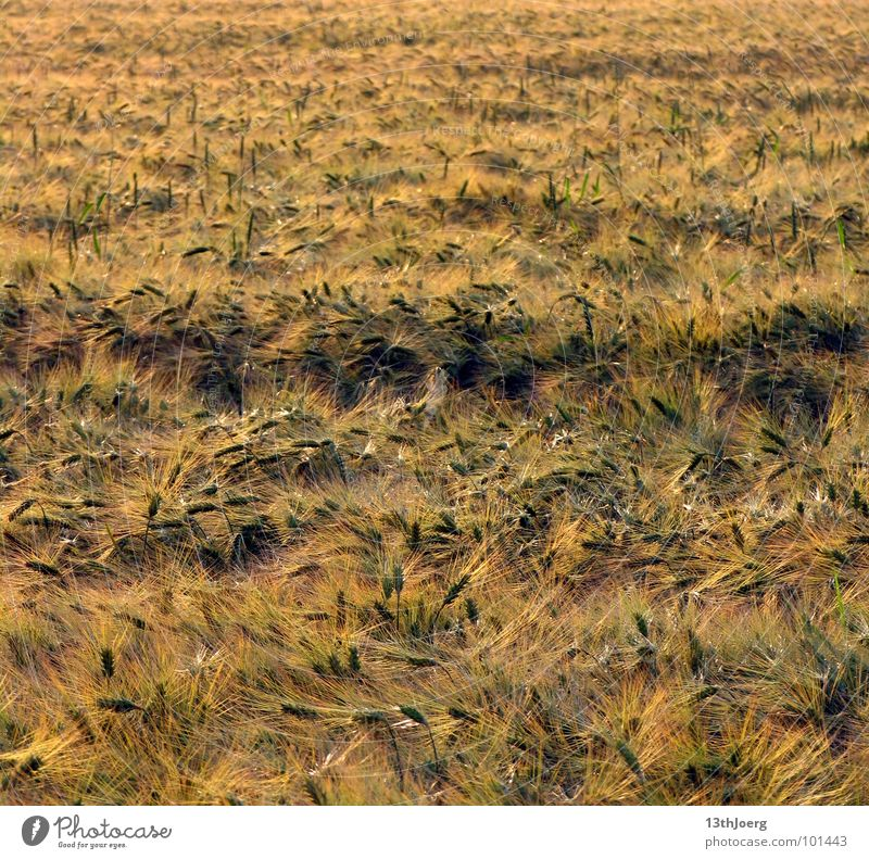Erntehorizont Pflanze Sommer Ernährung gelb Gras Feld Wind Lebensmittel Horizont Getreide Landwirtschaft Amerika durcheinander Sachsen Ähren