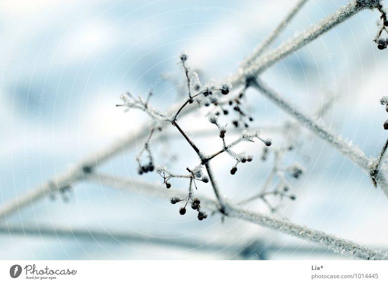 frozen Natur Eis Frost Schnee Sträucher Blüte frieren kalt weiß Winterstimmung gefroren Eiskristall Detailaufnahme Textfreiraum oben