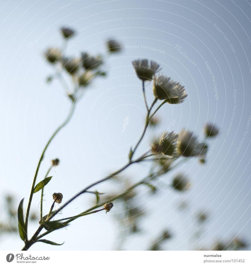 luftig 1 Himmel blau Freude oben Gesundheit frisch Blende Kamille Heilpflanzen