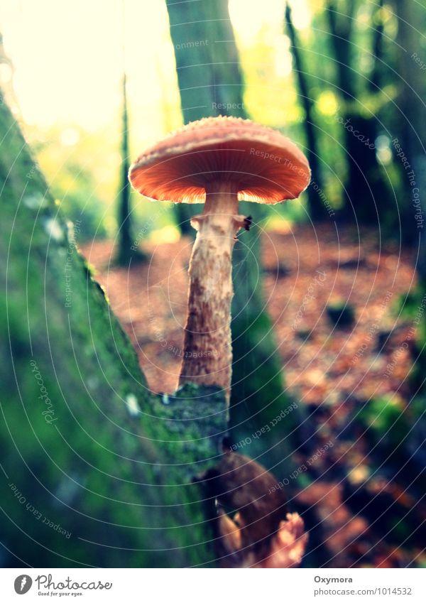 Baum und Pilz Herbst Wald wandern wild braun grün ruhig Idylle Pilzsucher Gift Farbfoto Außenaufnahme Tag Schwache Tiefenschärfe