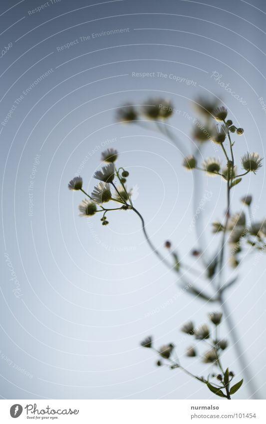 Kamille 2 Himmel blau Freude oben Gesundheit frisch Blende Kamille Heilpflanzen