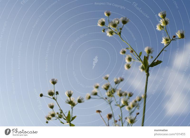 Kamille 3 Unschärfe Blende frisch Gesundheit blau Himmel oben Freude Heilpflanzen