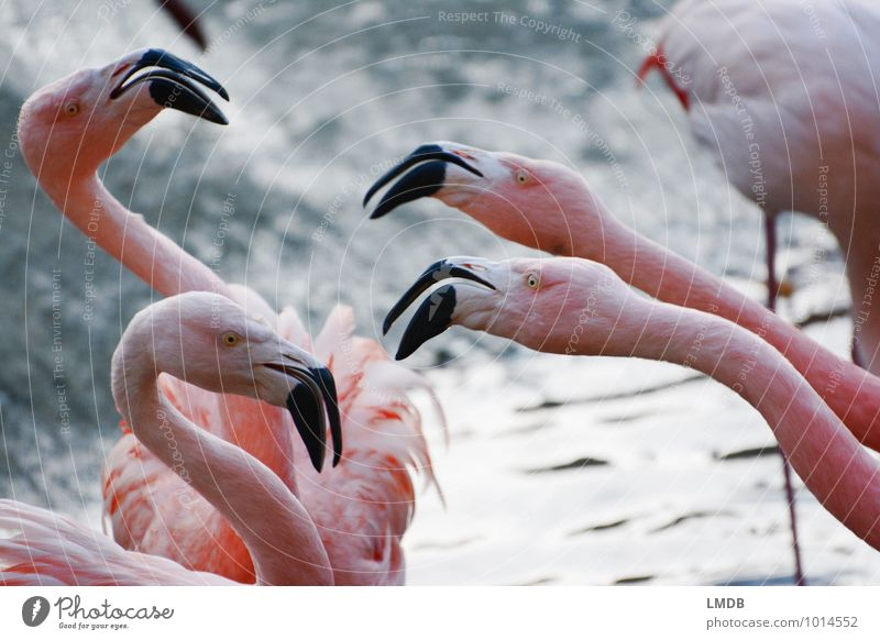 2 gegen 2 Tier Vogel rosa Wildtier Feder Tiergruppe Gewalt Zoo Konflikt & Streit Aggression anstrengen Schnabel Hals Defensive Angriff Neid