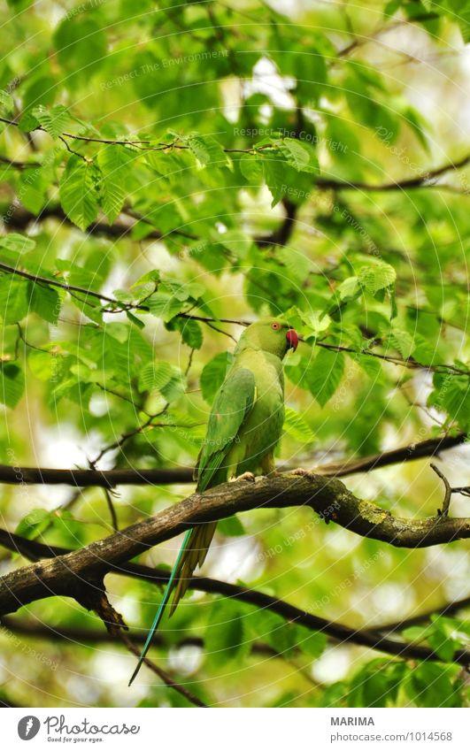 rose-ringed parakeet sitting in the tree ruhig Landwirtschaft Forstwirtschaft Pflanze Tier Baum Vogel Schwarm Wachstum grün Ast Zweig branches bio biologisch