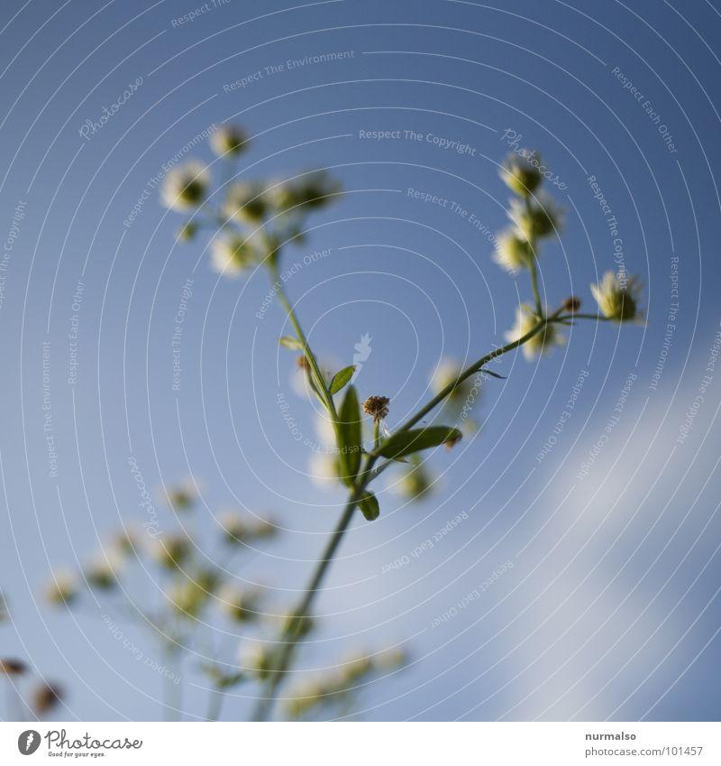 luftig 4 Kamille Unschärfe Blende frisch Gesundheit blau Himmel oben Freude Heilpflanzen