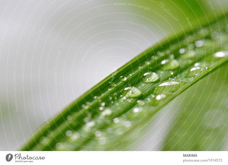 leaves with many water drops ruhig Landwirtschaft Forstwirtschaft Pflanze Wassertropfen Blatt Wachstum grün bio biologisch biologically leaf sheet foliage green