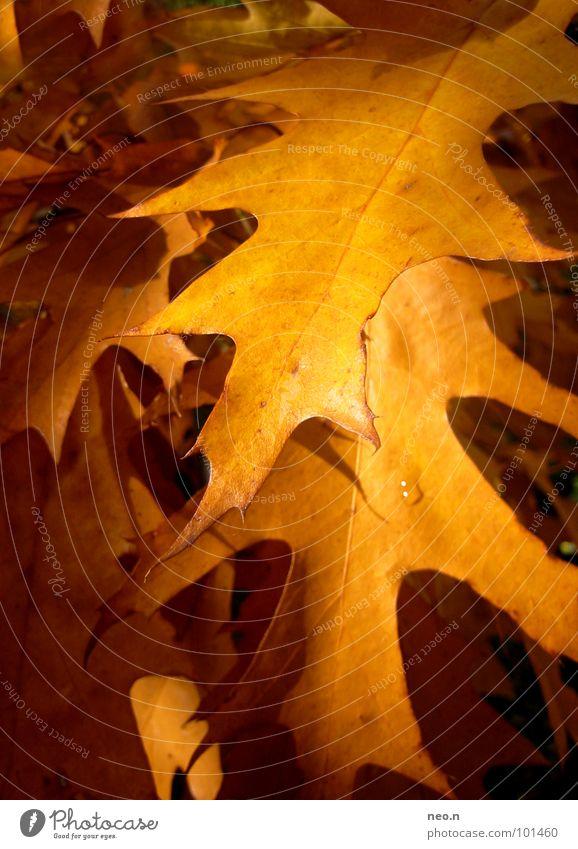 Ahorn Natur Baum Farbe Blatt Wald gelb Herbst Park gold Schönes Wetter Jahreszeiten Herbstlaub herbstlich Ahornblatt Laubbaum