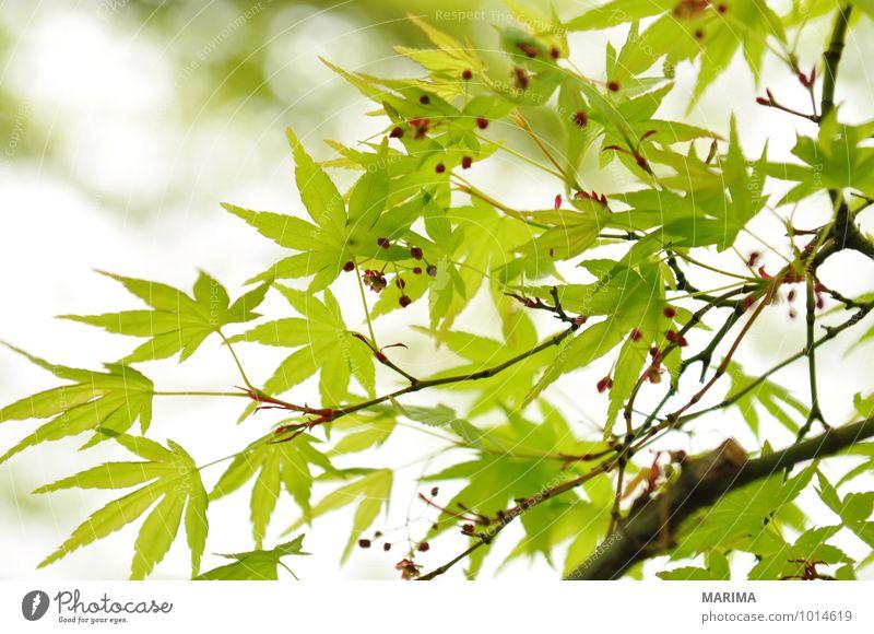 Detail of the foliage of Japanese Maple ruhig Landwirtschaft Forstwirtschaft Pflanze Blatt Wachstum grün weiß Ahorn maple acer Ast Zweig branches tree bio