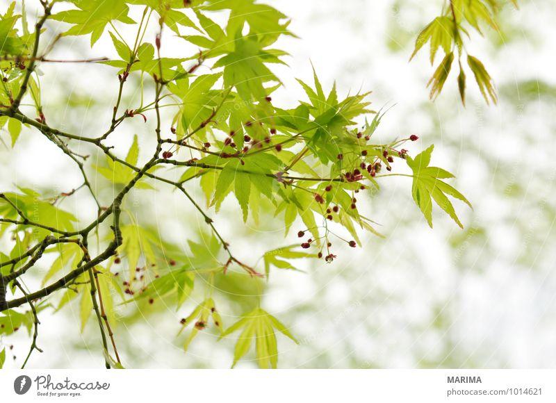 Detail of the foliage of Japanese Maple ruhig Landwirtschaft Forstwirtschaft Pflanze Baum Blatt Wachstum grün weiß Ahorn maple acer Ast Zweig branches tree bio
