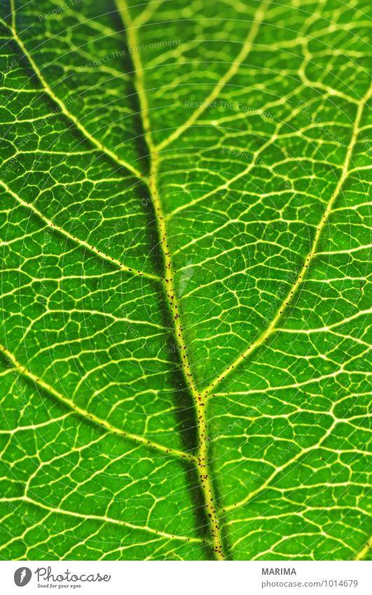 Macro shot of a leaf ruhig Landwirtschaft Forstwirtschaft Pflanze Blatt Wachstum grün bio biologisch biologically sheet Blattspreite leaf blade foliage green