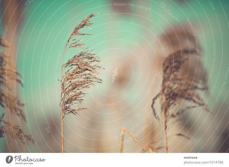 türkis-beige Natur Pflanze ruhig Winter Umwelt Gras Freiheit Stimmung braun träumen gold stehen Klima Schönes Wetter berühren Seeufer