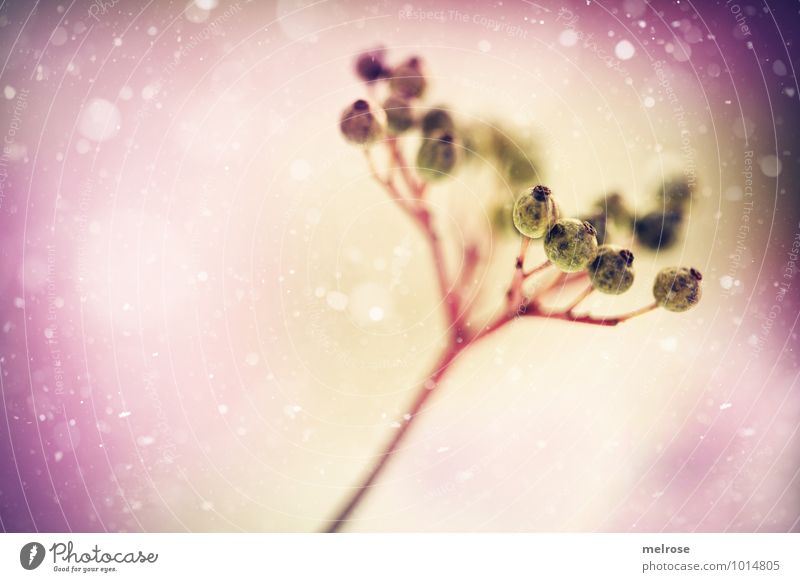 Schneebeeren Winter Winterurlaub Natur Schönes Wetter Schneefall Pflanze Sträucher Wildpflanze Beeren Blütenstiel Feld Schneeflocken träumen kalt schön gold