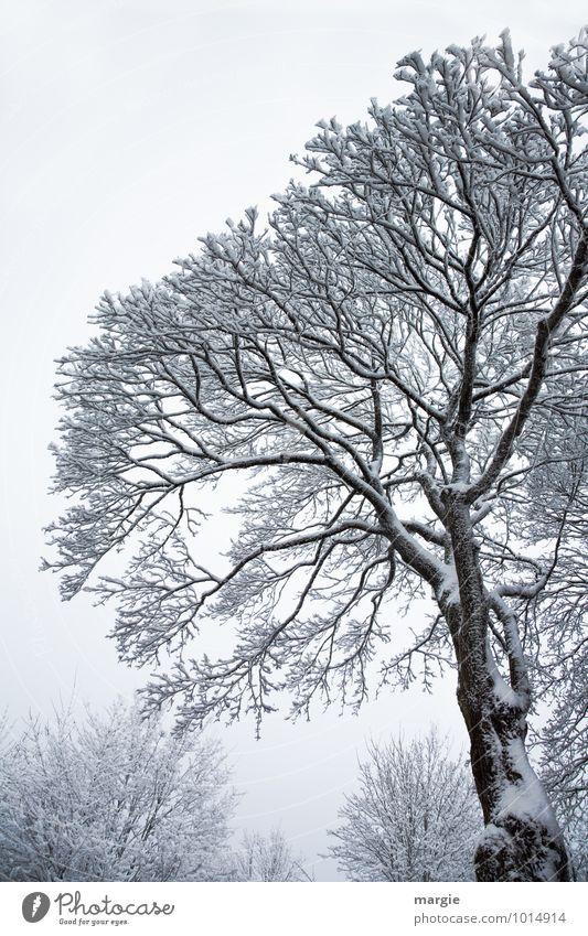 Winterbaum Umwelt Natur Landschaft Klima Klimawandel Wetter Eis Frost Schnee Schneefall Pflanze Baum Sträucher Wald frieren weiß Traurigkeit Sorge Trauer