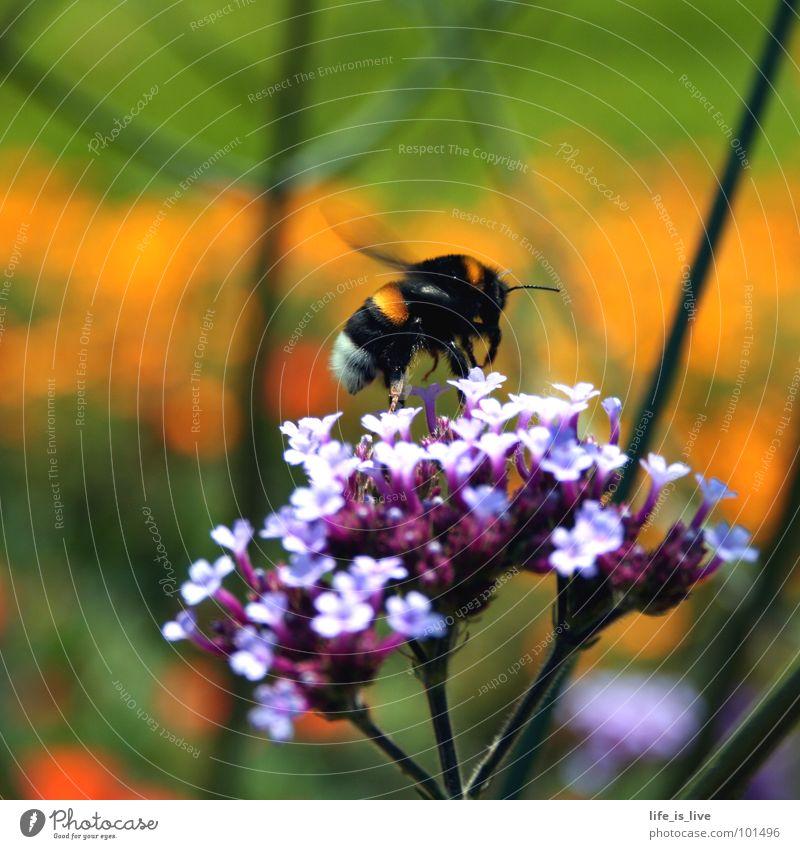summ_bienchen_summ Blume grün Sommer Leben orange fliegen Pause Insekt Biene Fressen Honig fleißig stechen Staubfäden flattern Fliederbusch