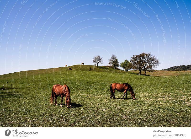 Pferde vor idyllischem Hügel Natur Pflanze Landschaft Freude Tier Umwelt Gefühle Wiese Sport Freiheit Stimmung Feld Idylle Insel Tiergruppe Lebensfreude