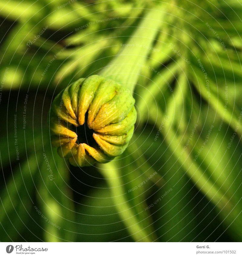 kleines grünes Pimmelchen Natur Blume grün Pflanze gelb Blüte fest Stengel Schilfrohr Loch Blütenknospen bewegungslos hart Stab Ständer