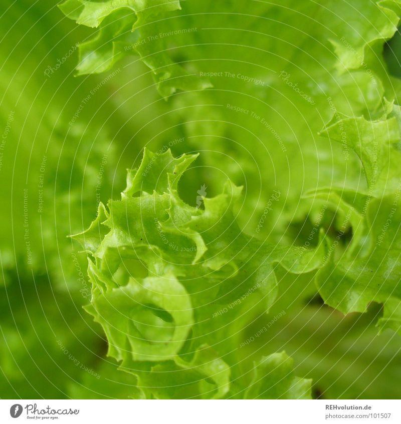 knackig! grün Sommer Ernährung Garten Gesundheit frisch lecker Appetit & Hunger Mahlzeit Diät Bioprodukte Salat knackig Vegetarische Ernährung gewachsen Beilage