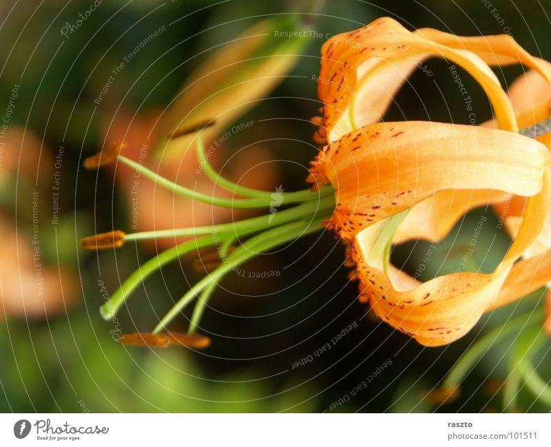 Lilly Natur Blume rot orange Baumkrone