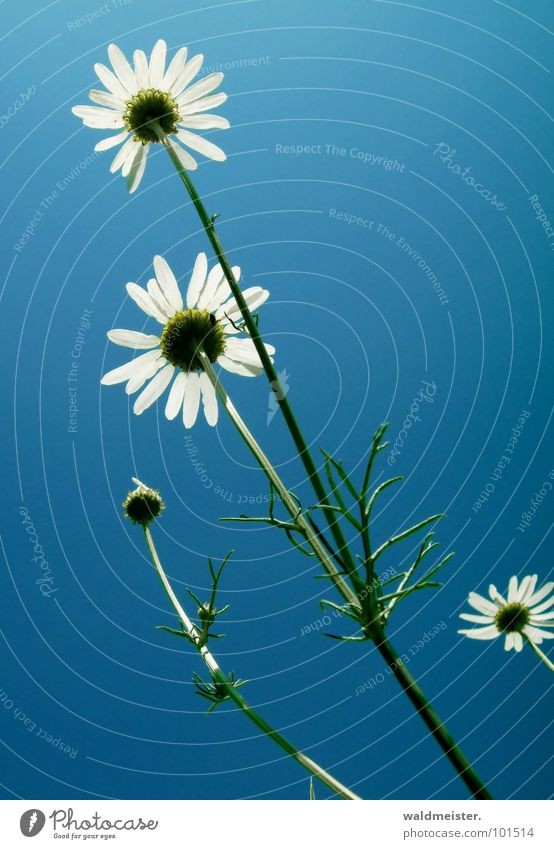Kamille und Himmel II Gegenlicht Blume Blüte Heilpflanzen Wiesenblume Sommer grün weiß blau zart filigran