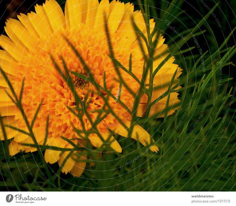 hinter Blättern Ringelblume Blume Blüte Blumenbeet Pflanze Heilpflanzen Wiese Garten Sommer geheimnisvoll verborgen grün orange zart filigran