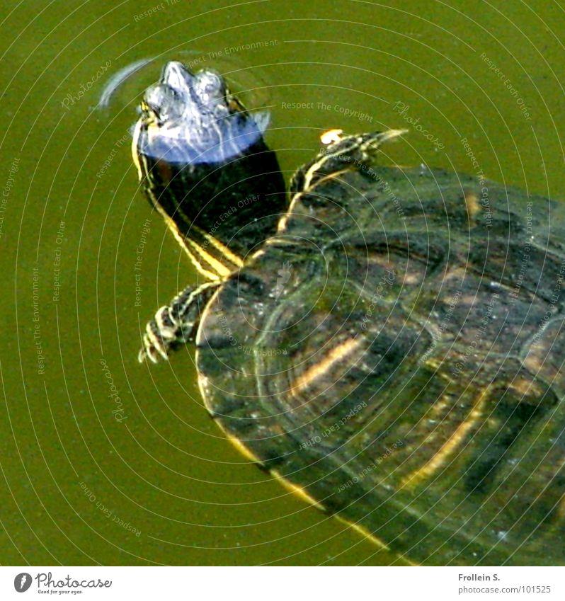 Tümpeltier grün Schildkröte Luftblase Wohlgefühl atmen schön Wasser gepanzert Paddelflossen Strukturen & Formen