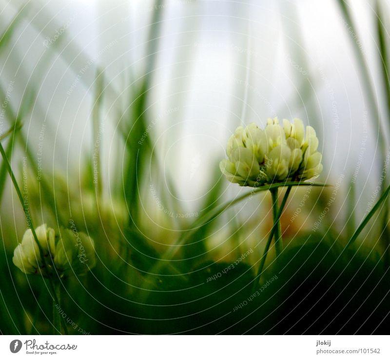 ((o(O)) Froschperspektive Wolken ziehen gefährlich dunkel Jäger Klee Wiese unten Holz Wachstum Blüte Blume Pflanze Regen Gras grün Unschärfe Tiefdruckgebiet
