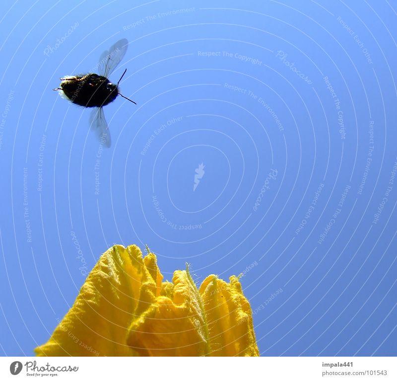 hummel im anflug Hummel Blüte Blume Honig Staubfäden Sommer gelb Insekt fliegend Biene Fühler Nektar blau Segel Himmel Flügel Luftverkehr