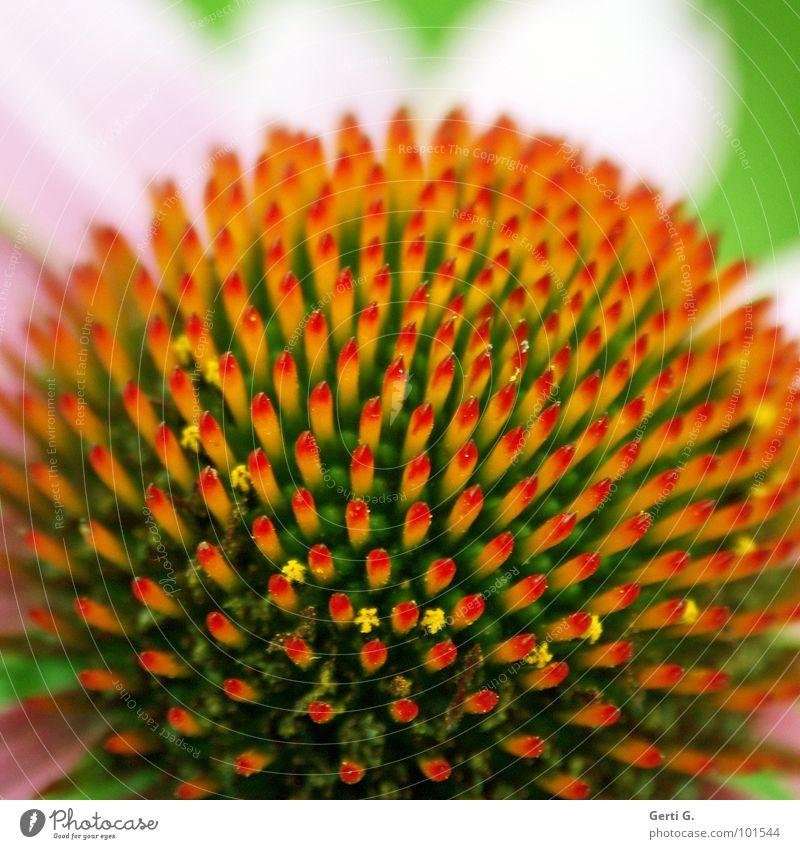 s p i k y Blume Blüte Pflanze rot gelb grün rosa mehrfarbig stachelig stechen rund Symmetrie Blütenblatt zierlich winzig zart Pollen Roter Sonnenhut Wagenräder
