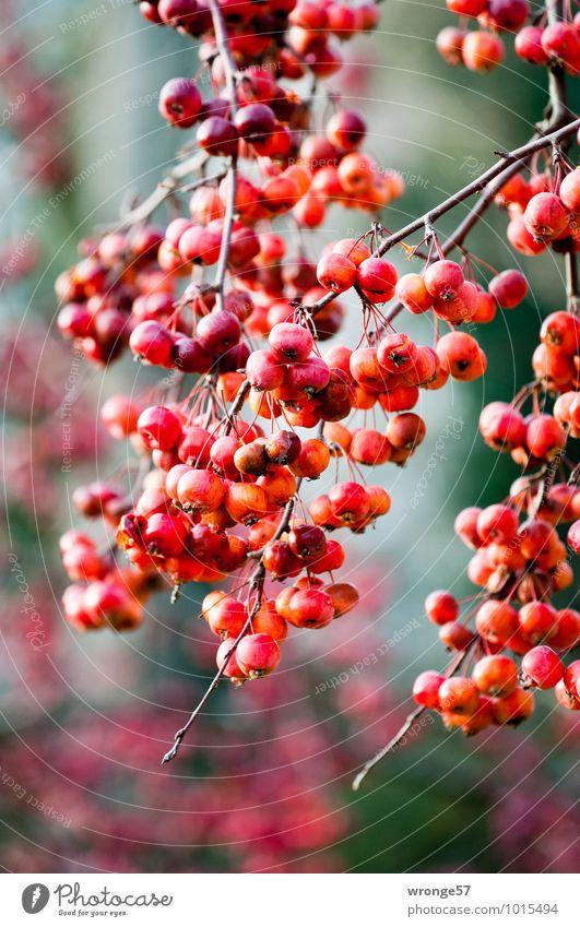 Rote Äpfel Pflanze Winter Baum Obstbaum Zierapfel Apfelbaum frisch natürlich saftig sauer rot Frucht Farbfoto mehrfarbig Außenaufnahme Nahaufnahme Menschenleer
