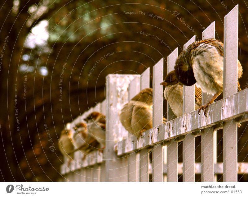 bestellt und nicht abgeholt Vogel Tier klein niedlich kalt Reinigen Zaun Spatz Reihe sitzen Kot