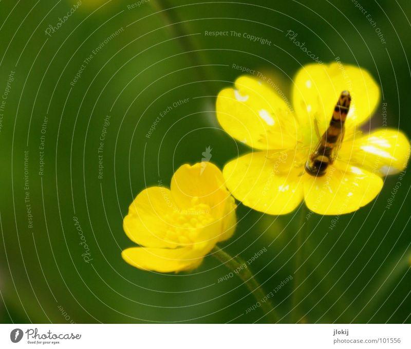 Kopfstand Schwebfliege saugen Staubfäden gestreift Hummel Biene Wespen stechen Insekt lang dünn bestäuben Facettenauge Pflanze Tier Lebewesen klein Blume gelb