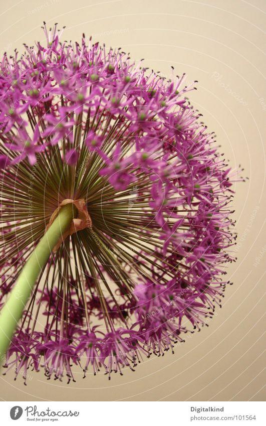 Lauch! Zierlauch!! (2) grün schön blau Pflanze Blume Farbe Leben Blüte hell Wachstum rund Dekoration & Verzierung violett Lebewesen Stengel Gemüse